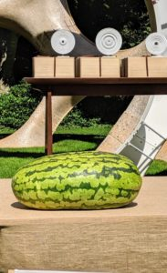 Each of the watermelons weighs about 124-pounds!