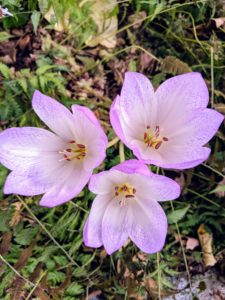 When blooming, Colchicum flowers have up to six bright single or double petaled blossoms.