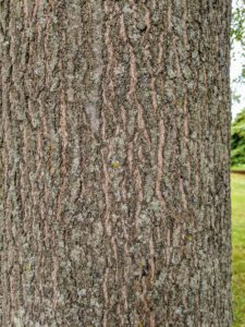The bark of the pin oak is dark and furrowed. It makes good wood for splitting, and for firewood.