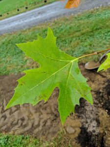 This very large tree with maple-like leaves grows to roughly 75 to 100 feet with a spread of 60 to 75 feet.