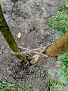 Knots should be very simple. I always teach every member of the crew to twist the twine before knotting, so the tree or vine or cane is not crushed or strangled.