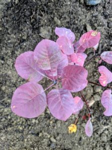 The leaves are waxy purple and are one and a half to three inches long, and ovate in shape.
