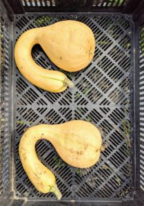 This is a crookneck squash, a type of butternut. It is medium to large in size and is cylindrical with one bulbous end and a long, curved neck. The tan skin is relatively thin, smooth, and is connected to a rough, green stem.