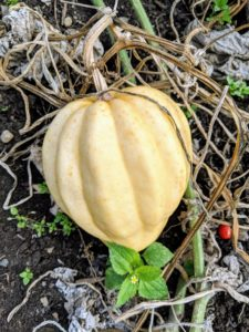 This is an acorn squash. These acorn fruits are light beige, deeply ridged measuring about six to eight-inches with thick flesh. Winter squash is actually a term describing a number of different cultivars of squash varieties, all of which belong to the Cucurbita genus.