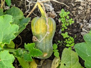 Depending on the type of winter squash planted, anywhere from one to 10 fruits can grow per plant.