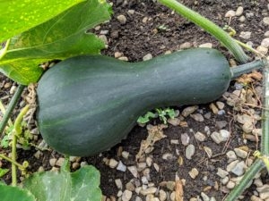 A garden situated in full sun with warm, well-drained, fertile soil that's slightly acidic is the ideal spot for growing squash.