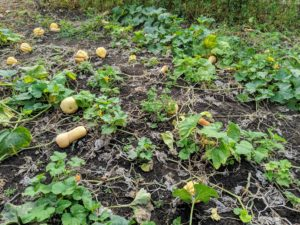 This year, we planted squash on one side of my vegetable garden down by the chicken yard. The leaves cover most of the cucurbits as they form, but winter squash is ready to harvest when the foliage on the vines start to wither and turn brown. This happens by late September to early October here in the Northeast. We had a lot of rain this season, so we don't have as many as past years, but there are still quite a few to harvest.