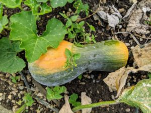 Always cut the squash carefully, leaving at least two inches of stem attached.