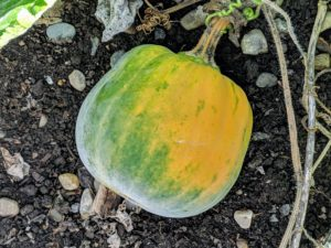 Winter squash contains an impressive amount of immune-supportive vitamin A and vitamin C, as well as dietary fiber, manganese, copper, potassium, folate, manganese, vitamin B6, vitamin K, vitamin B3, and omega-3 fatty acids.