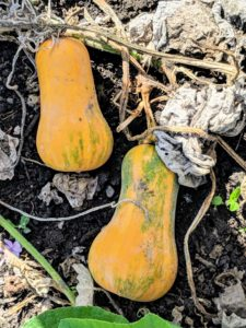 Always choose winter squash that is dull and matte. Shiny skin on squash may indicate it still needs time to mature.