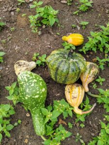 And always be sure to harvest them with a bit of stem attached. All Cucurbits that lose their stem stubs are much more likely to rot.