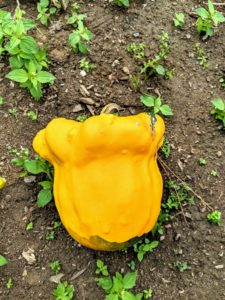 Here is a brightly colored and oddly shaped yellow gourd. Gourds need full sun and a growing season with 100 to 180 days of warm temperatures, preferably between 70 and 78 degrees Fahrenheit with well-drained, light, sandy soil.