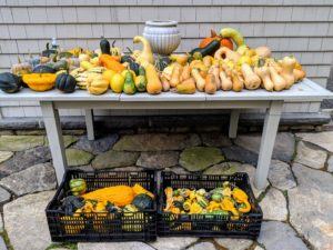 As the crates are filled, they're brought up and placed on a table outside my Flower Room. Such a pretty collection of squash and gourds. No 'decorating' is required. Just putting them out in a single layer on a table or along a stone wall makes a wonderful display.