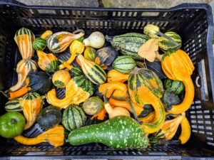 Ornamental gourds come in a mix of shapes and are perfect for decorating. The colors can range from cream and yellow to green and bicolored.