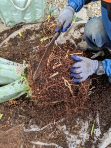 Never be afraid to give the roots a good trimming – agaves are very forgiving.