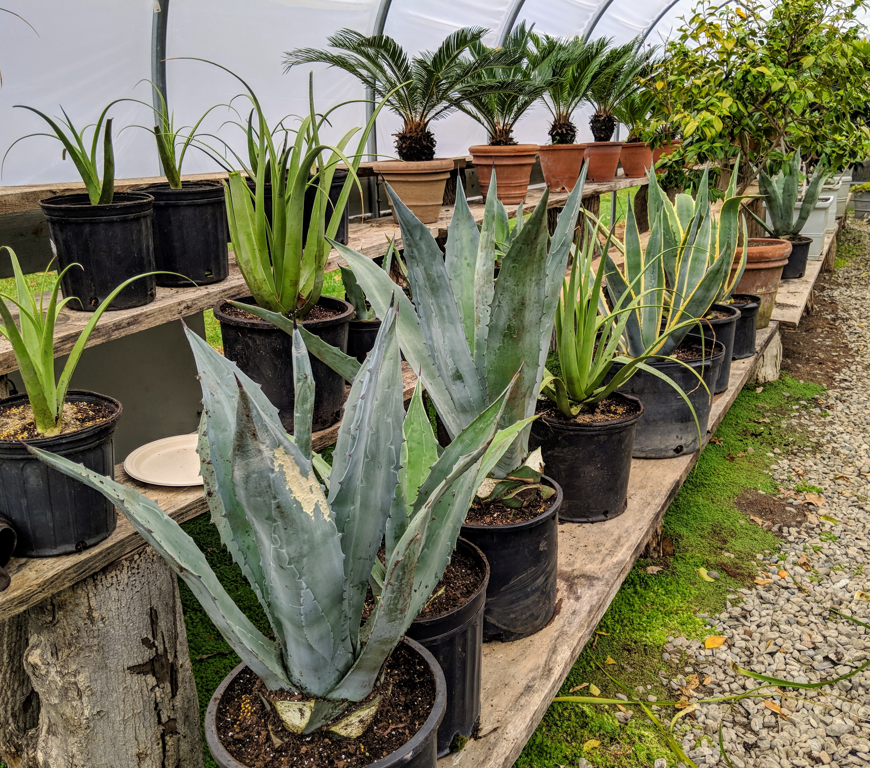 The Martha Stewart Blog Blog Archive Repotting My Agaves