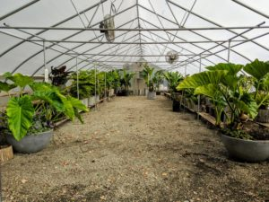 These plants actually spend about seven months of the year in this heated shelter – but they definitely thrive.