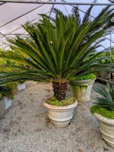 The sago palm, Cycas revoluta, is a popular houseplant known for its feathery foliage and ease of care. This very symmetrical plant supports a crown of shiny, dark green leaves on a thick shaggy trunk that is typically about seven to eight inches in diameter, sometimes wider. I have many sago palms in my collection.