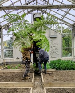 The tall ceiling of my vegetable greenhouse also helps in storing some of my potted plants. Here, the crew moves in one of several tall tree ferns.