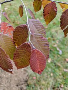 These leaves are mostly reddish in color. They are simple and ovate to oblong-ovate with serrated or crenate margins.