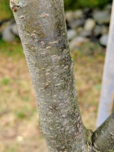 The bark is a smooth, reddish-brown when young with prominent cherry-like lenticels that allow gases to pass through between living cells and the exterior. As the tree ages, the outer bark is gray-brown and often exfoliating exposing an orangish inner bark.