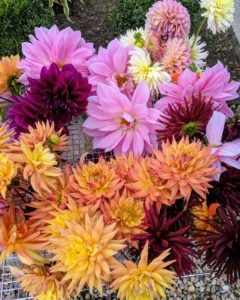 """""""Dahlias for days"""" is a common saying this season. My new dahlia bed behind my main greenhouse is still bursting with flowers."""