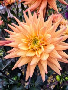 This is 'Karma Corona'. The Karma series was developed for the cut flower market. This variety has strong stems and flowers that open with a blend of beautiful salmon, yellow, and bronze.