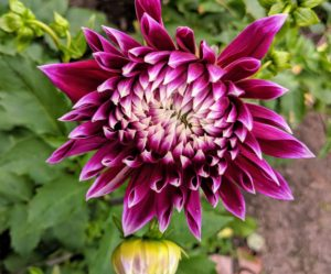 Dahlia 'Vancouver' is an eye-catching dinner plate dahlia with huge and magnificent, blue-violet blossoms adorned with white-tipped, long petals. When fully opened, this double variety flowers up to eight to 10 inches in diameter.