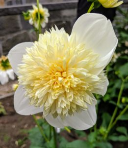 When deciding where to plant dahlias, look for an area that is in full sun to part shade. This is 'Platinum Blonde' - one of the most unusual varieties. The flowers resemble double flowered echinacea. Each fuzzy buttercream center on a four-inch anemone-shaped bloom is surrounded by a ring of bright white petals. The long-stemmed flowers are great for wedding work and last well in the vase.