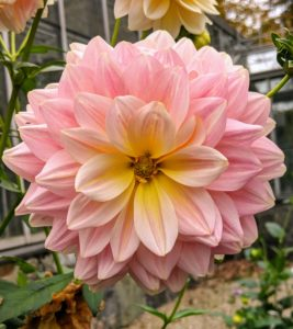 'Sheer Heaven' is this glowing beauty - a special mix of soft peach and the palest lemon yellow. Its flowers are upward-facing and borne on long, strong stems.
