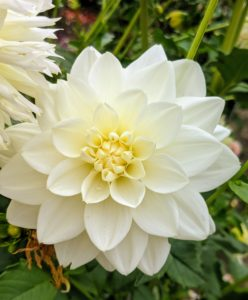 'Center Court' dahlias are beautiful pristine white six-inch blooms atop five-foot tall plants. The petals fold back to cup each stem. 'Center Court' looks great in large arrangements.