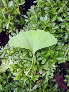 "The ginkgo leaves are also triangular. Oftentimes they form a notch in the middle separating it into two lobes. Bi-loba means ""with two lobes""."