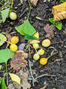 Here is a group of newly fallen ginkgo tree fruits. The most noticeable thing about these is their smell. Have you ever smelled one? It is hard to miss, and the stench is quite disagreeable. The outer, nasty smelling pulp is known botanically as sarcotesta.