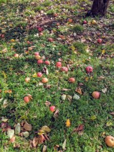 We are also having a wonderful apple season - many apples have fallen to the ground.