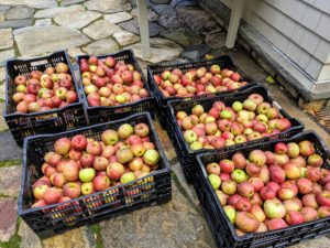 The apples are washed and placed in crates all ready to be pressed into cider. I will definitely share photos of that fun process. What autumn changes are happening where you live? Please share your comments with me below.