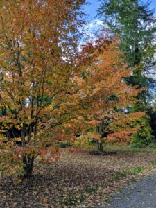 These trees are Stewartias. I've planted many of these trees in various locations around my farm. I love its colors, its growth pattern, and of course, its name.