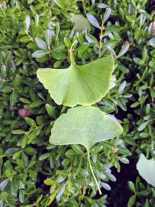 The leaves are unusually fan-shaped, up to three inches long, with a petiole that is also up to three inches long. This shape and the elongated petiole cause the foliage to flutter in the slightest breeze.