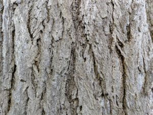 The trunk of the ginkgo tree is a light brown to brownish-gray bark that is deeply furrowed and highly ridged. The ridges become more pronounced as the tree ages.
