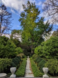 This is the sunken garden behind my Summer House. The main focal point is this great old ginkgo tree at the back of the space. This is how it looks before the leaves turn – it's filled with beautiful bright green foliage.