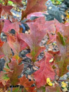 In the fall, they have deep red or scarlet hues. Sometimes, the foliage turns more of a yellow or bronze color in fall; however, once the fall color display is done, pin oaks often retain brown leaves, which persist on the tree through winter.