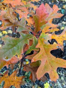 The leaves of the pin oak have deep indentations, making them look skinny. They have about five to seven lobes each and are about six inches long. Pin oak is known for the gorgeous fall color. These leaves are starting to turn.