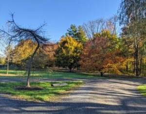 Though unusual for a conifer, the weeping larch is deciduous, dropping its needles in the fall. The weeping larch tree on the left is already bare, but the grove of American beech trees is showing such gorgeous color and form.