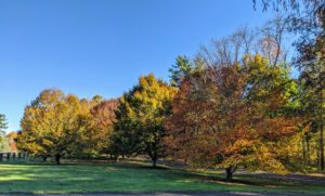 These American beech trees offer a beautiful autumn show every year. The American beech tree, Fagus grandifolia, has golden-bronze fall foliage. The leaves persist in winter, after turning a rather pleasing tan color.