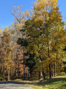 Some trees change early, others late - usually from mid-October to mid-November here in the Northeast.