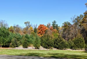 """Although my """"Christmas tree"""" field doesn't go through a change of colors, it's still amazing to see how much these trees have grown since we planted them about 10 years ago. Here, we planted rows of Frasier Fir, Canaan Fir, Norway Spruce, and Blue Spruce."""
