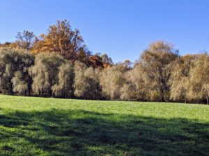 Here is my grove of weeping willow trees. Most willows have pretty, green foliage and long, thin leaves. They are among the first trees to grow leaves in the spring and among the last to lose their leaves in the fall. In fall, the color of the leaves ranges from a golden shade to a greenish-yellow hue, depending on the type.