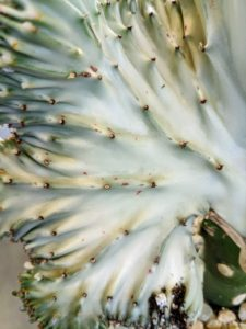 """The Euphorbia lactea is an eye-catching houseplant. The """"Coral Cactus"""" is not really a cactus, but two succulent plants joined together. It prefers full to partial light."""