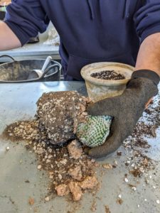 Ryan gently removes the succulent from the pot, being very careful not to damage any of the roots. To stimulate new root growth, Ryan also loosens the root ball with his hands. Ryan uses thick work gloves to protect his hands from the sharp spines.