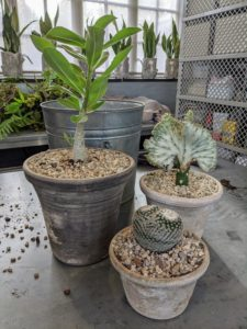 These plants will so do well in my greenhouse where the temperature and humidity levels can be monitored.