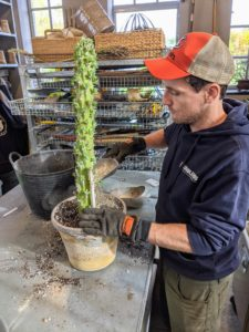 Ryan stakes it to give it more support until the plant is more secure in its new pot.